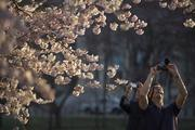Blossoming cherry trees attract a photographer.