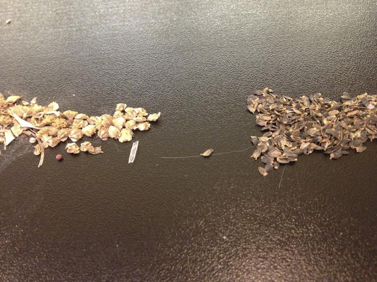 Yulex Corp. will use these guayule seeds to establish crops in new regions globally.