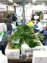 Workers assemble fern clusters for shipment.