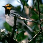 Politics, science and developers collide in Warbler study dispute, report says