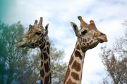 The new giraffe exhibit is expected to increase the zoo's annual attendance by 10 percent.
