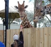 A zoo keeper feeds Rafiki and Emba. Guests will be able to feed the giraffes beginning March 14.