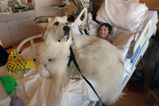 Joshua Boston, who is 8, is dwarfed by Rogan, a Great Pyrenees dog visiting patients at Randall Children's Hospital. Josh has two large dogs at home who were able to visit that morning, so he figured Rogan may be smelling his dogs.