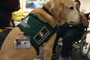Chanel, a lab-golden retriever mix, wears a badge to show that she's a volunteer at Legacy Good Samaritan. Chanel patiently waits for a patient or staff member to approach. Legacy Good Sam is looking for more animal assist teams that are certified by a nationally recognized therapy program. Call 503-413-7012 if you are interested.