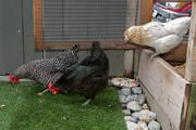 The Canlis family backyard chickens Little John, Robin Hood and Maid Marian hop out of their coop.