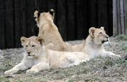Maryland Zoo hasn't been able to show off its fast-growing lion cubs much because of the cold.