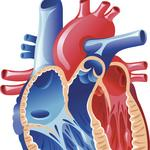 Louisville scientists plan to build human heart with 3-D printer