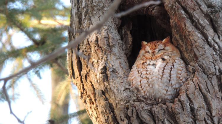 A screech owl dozes at the Schlitz Audubon Nature Center, part of the center's birds of prey program.