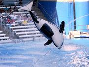 Protests have centered around the treatment of Killer Whales at the parks.