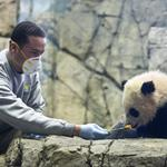Our giant pandas are a national treasure, and I'm bitter about it