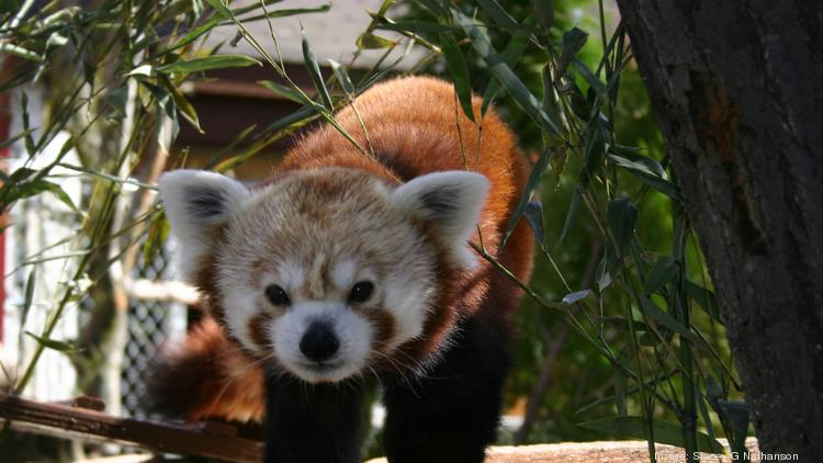 The Red Panda is a featured attraction at the Franklin Park Zoo.