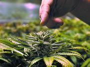 Another medical marijuana school is looking to break into the budding industry in Central Florida.