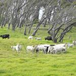 Parker Ranch, Omidyar's Ulupono Initiative partner on expansion of Hawaii's beef market