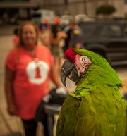 Maggie, a 13 year-old parrot, and her owner Vernon Wells of Jacksonville took in the sights as the One Spark festival got underway Wednesday.