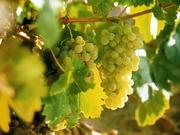 Verdejo grapes hang on the vines planted in the Rueda wine region of Spain. The region has two wines in the list of great value white wines for spring.