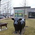Hilltop Steakhouse cows now grazing in Lynnfield, courtesy of WS Development