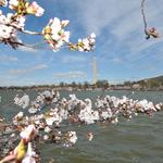 8 things to start your Friday, and Halloween? Eh. It's time to talk Cherry Blossom Festival.