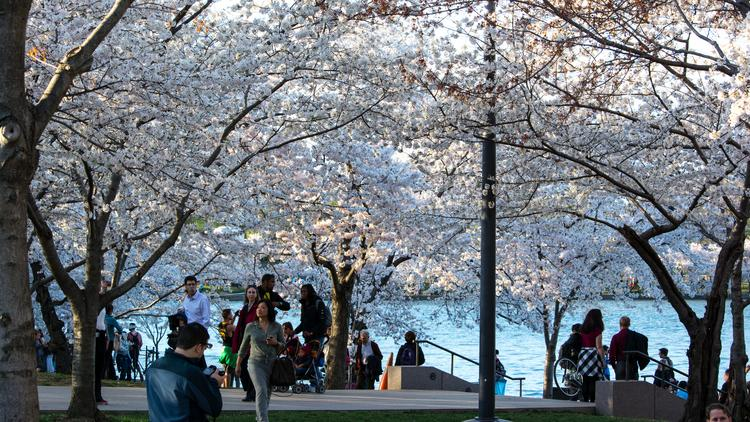 Even at dusk, crowds still swarmed to the tidal basin for a glimpse of the cherry blossoms in peak bloom last weekend.