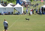 The disc dog competition.