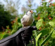 A cast member holds an African pygmy falcon at one of the animal stations outside Conservation Station.