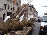 Workers brought trees to repair damage suffered in the two bomb blasts that shook Boylston Street on Marathon Monday.