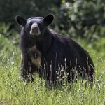 Tennessee expands bear hunts