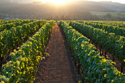 """Adelsheim is LIVE-certified in both its vineyards and winery. Its """"whole farm"""" approach takes into account the types of sprays it uses, as well as soil compaction, energy use, worker health and safety, erosion and biodiversity in general."""