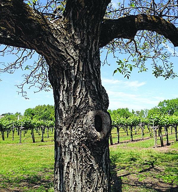A Sonoma County vineyard. Wineries in Napa Valley and Sonoma County oppose the plan to introduce new .wine and .vin Internet domain names.