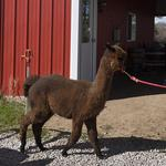 Clarence alpaca business to add distillery unit