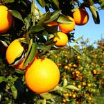 UCF researchers get funds to study ways to protect Florida's $11B citrus industry