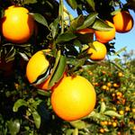 Coca-Cola makes $1.5 donation to UF for citrus disease fight