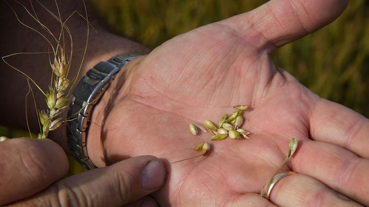 The 2014 wheat crop, after being hit by drought, temperature swings and high winds, could be the worst since 1996.