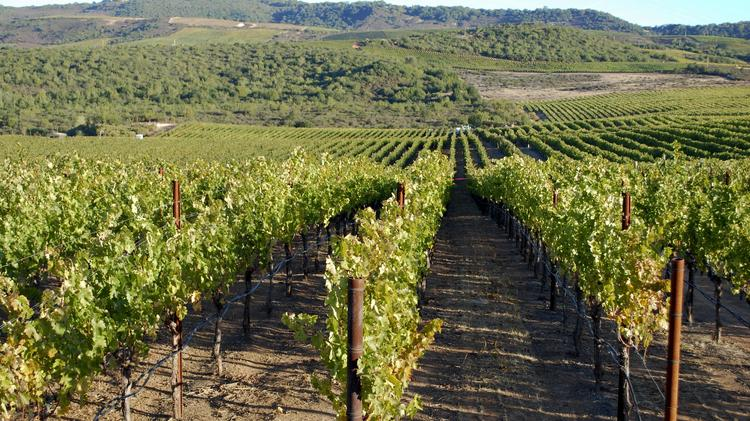 Grapes grow at Michael Mondavi's Animo Vineyards in Napa Valley's Atlas Peak in this Bloomberg file photo. The Michael Mondavi family has sold its Carneros winery facility, vineyard and tasting room to the Kieu Hoang Winery Napa Valley, owned by American business executive Kieu Hoang.