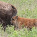 Baby bison born at Battelle Darby Creek Metro Park