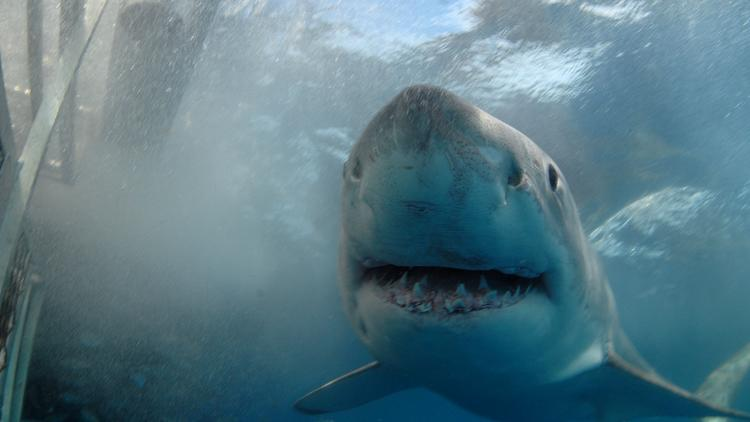 A Great White shark is inches away from a diving cage in this file photo.