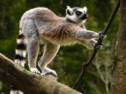 A lemur at the N.C. Zoo prepares to move to another limb.