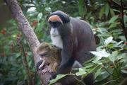 This three week old Debrazzas baby monkey is cuddled by her mother, Brooke, at the Oregon Zoo.