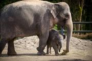 Asian elephant calf Lily with her mother Rose-Tu in the east habitat at the Oregon Zoo.
