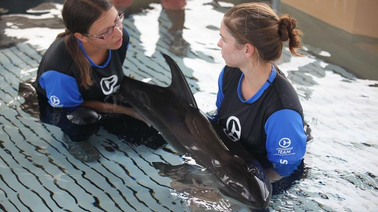 Clearwater Marine Aquarium staff with an Atlantic Spotted dolphin rescued July 4.