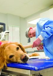 Buckeye Brown, an 8-year-old golden retriever from New Albany, has the dressing of his forelimb changed by Robert Dudley at MedVet.