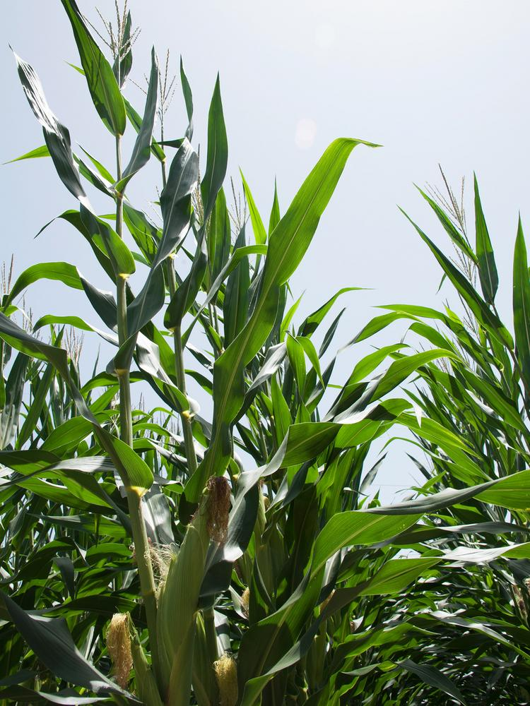 Corn acreage is down in Mississippi this year, but the other major row crops all saw increases.