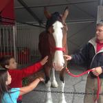 Funding is 'not an issue' when it comes to Budweiser's 175 Clydesdales