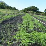 House Dem introduces version of hemp-farming bill