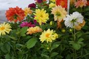 Dahlias were popular at the North Lyndale and St. Paul markets. They are hardy perennials that will last, said one vendor at the St. Paul Market.