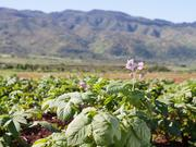 University of Minnesota associate professor Christian Thill's MonDak Gold potato was tested in Oahu, Hawaii.