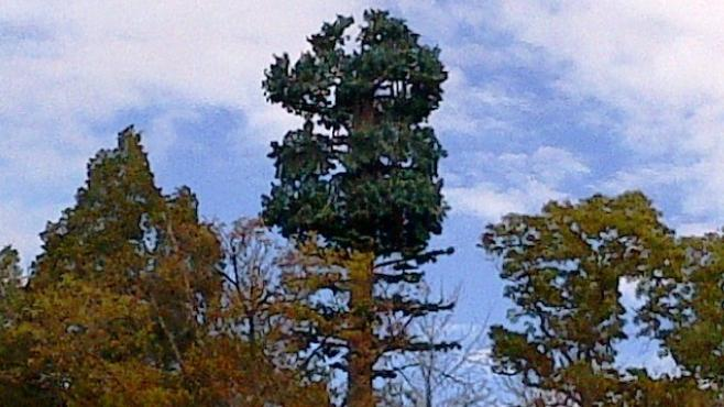 A 120-foot-tall monopole masked as a tree at Mount Vernon National Park. Similar stealth modes could be used for new poles in western Loudoun County.