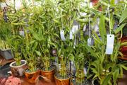 Many lucky bamboo can be see from the window of Lei of the Island Flower Shop in Honolulu.