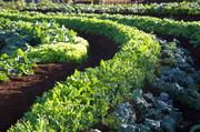 Bio-Logical Capital planted the crops at Oprah's Farm on Maui in a crescent shape.