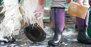 Gunner, a Clydesdale horse, has his feathers cleaned outside the Pimlico stables Wednesday morning.
