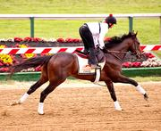 Kentucky Derby winner and Preakness favorite Orb takes a lap around Pimlico Race Course on Thursday.